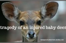 tragedy of an injured baby deer
