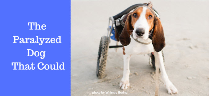 paralyzed dog that could