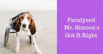 paralyzed dog mr. simeon's got it right