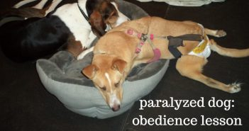 paralyzed dog obedience lesson