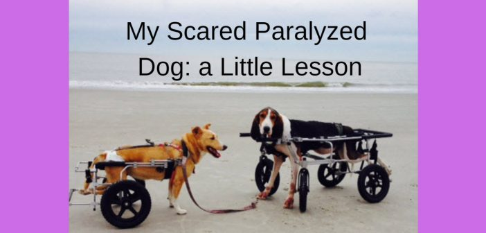 my scared paralyzed dog